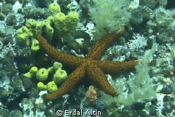 starfish by Erdal Altn 